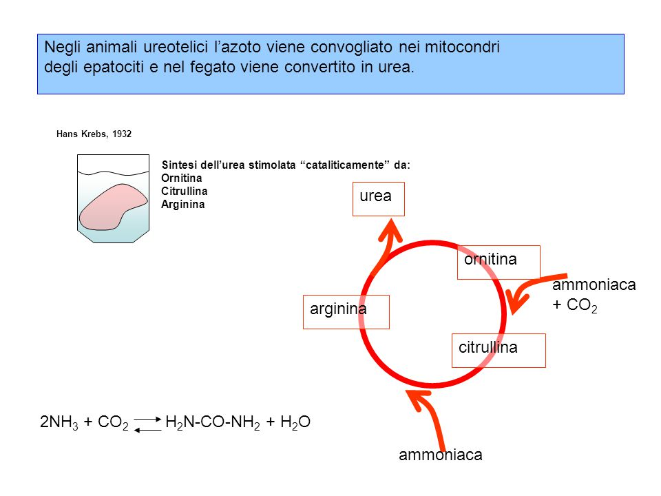 Negli animali ureotelici l'azoto viene convogliato nei mitocondri