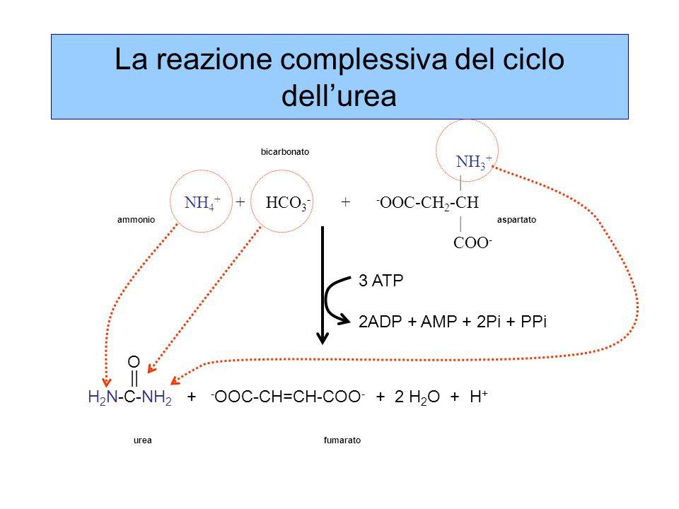 La reazione complessiva del ciclo dell'urea