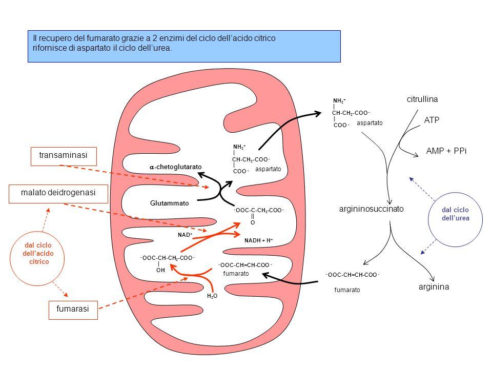 rifornisce di aspartato il ciclo dell'urea.