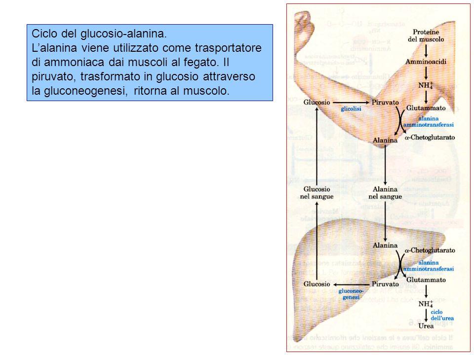 Ciclo del glucosio-alanina.
