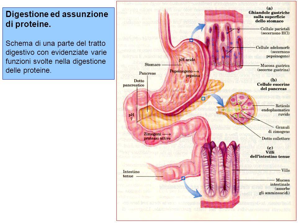 Digestione ed assunzione di proteine
