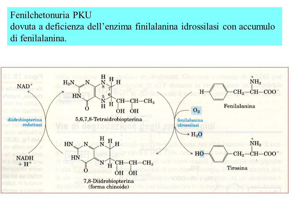 Fenilchetonuria PKU dovuta a deficienza dell'enzima finilalanina idrossilasi con accumulo di fenilalanina.