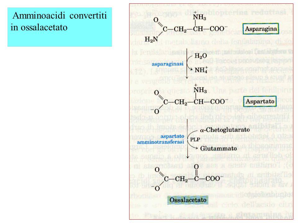 Amminoacidi convertiti in ossalacetato
