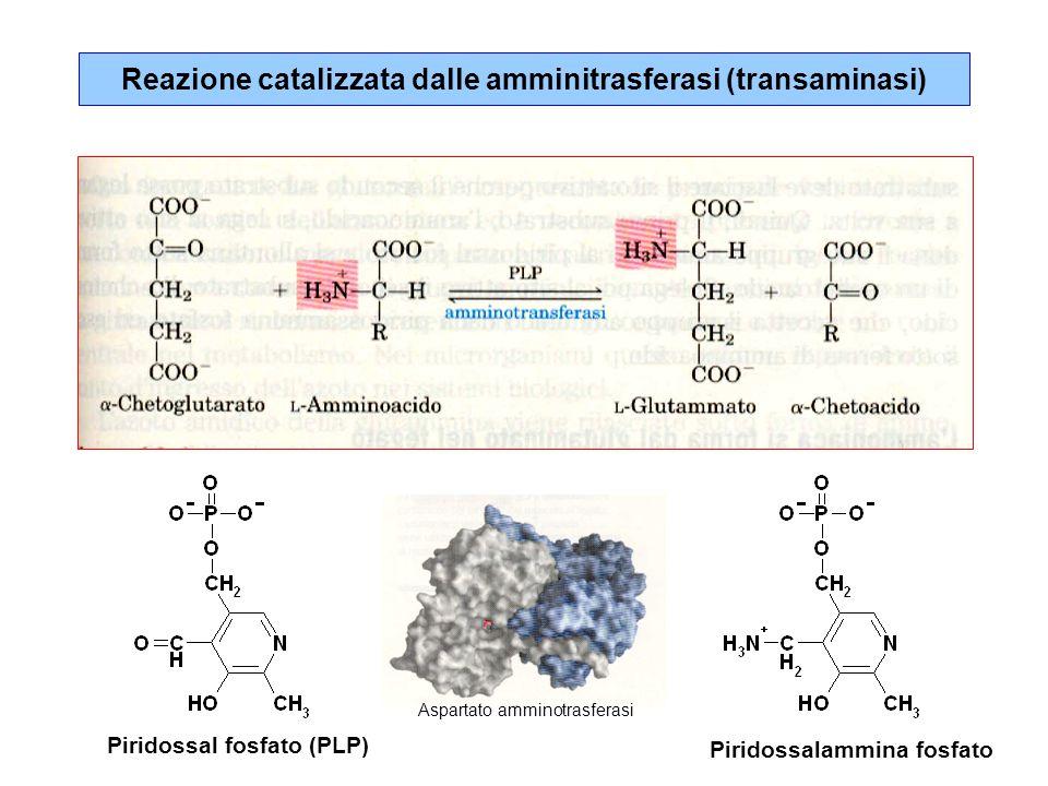 Reazione catalizzata dalle amminitrasferasi (transaminasi)