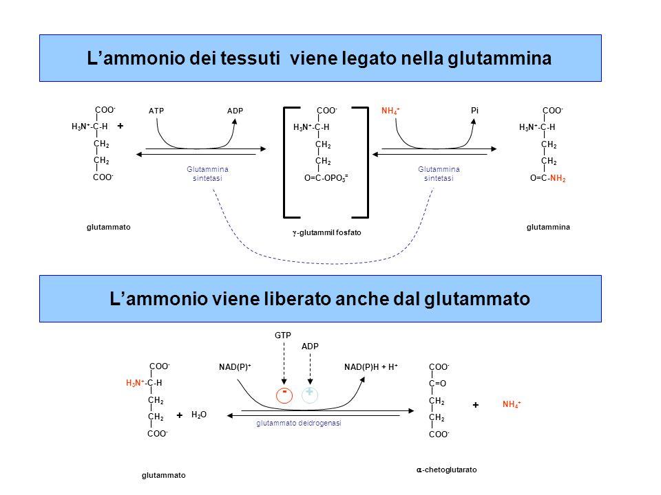 L'ammonio dei tessuti viene legato nella glutammina