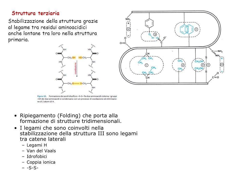 Struttura terziaria Stabilizzazione della struttura grazie al legame tra residui aminoacidici anche lontane tra loro nella struttura primaria.