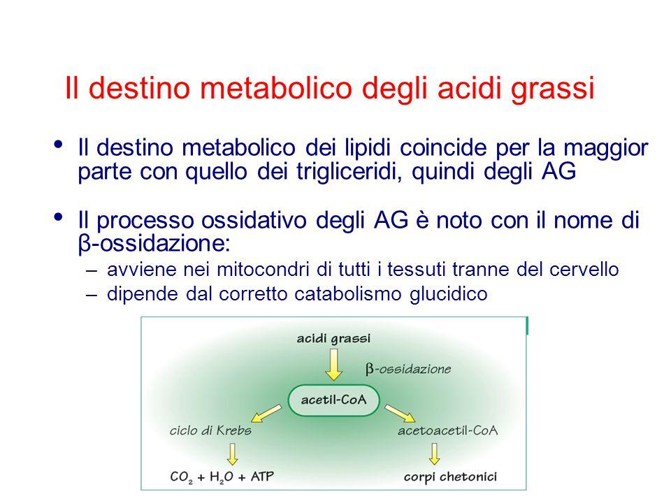 Il destino metabolico degli acidi grassi