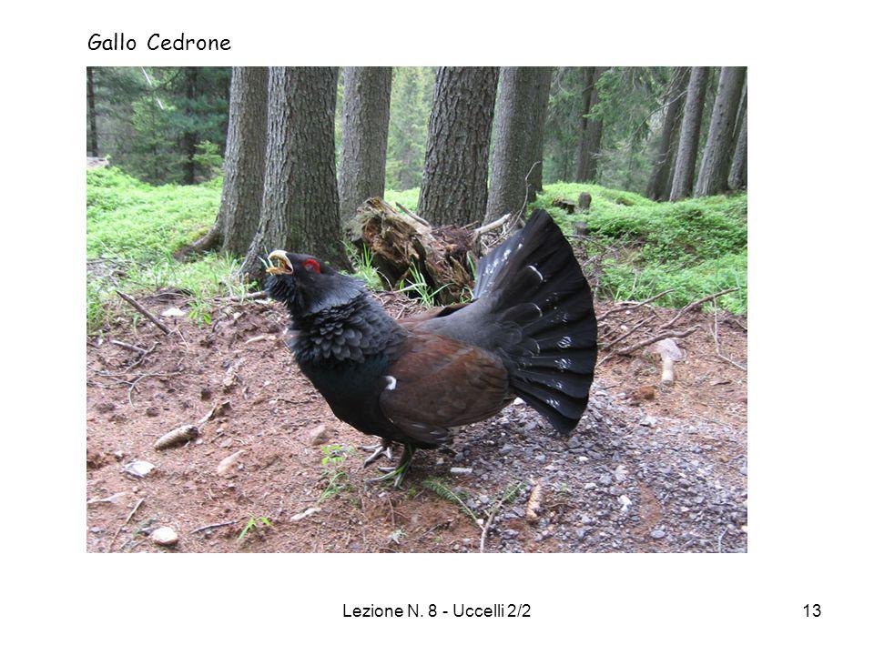 Gallo Cedrone Lezione N. 8 - Uccelli 2/2