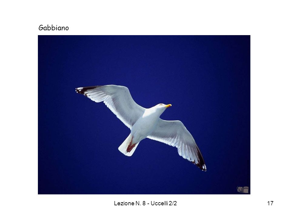 Gabbiano Lezione N. 8 - Uccelli 2/2