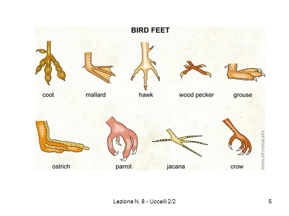 Lezione N. 8 - Uccelli 2/2