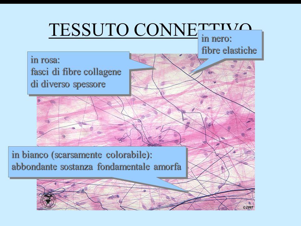 TESSUTO CONNETTIVO in nero: fibre elastiche in rosa: