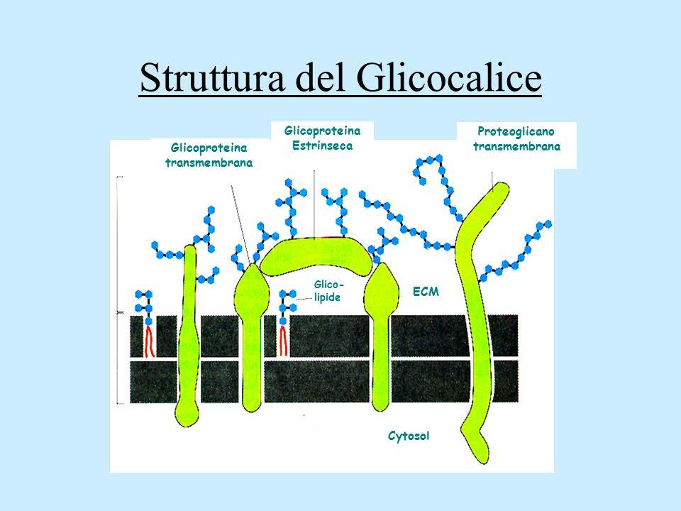 Struttura del Glicocalice