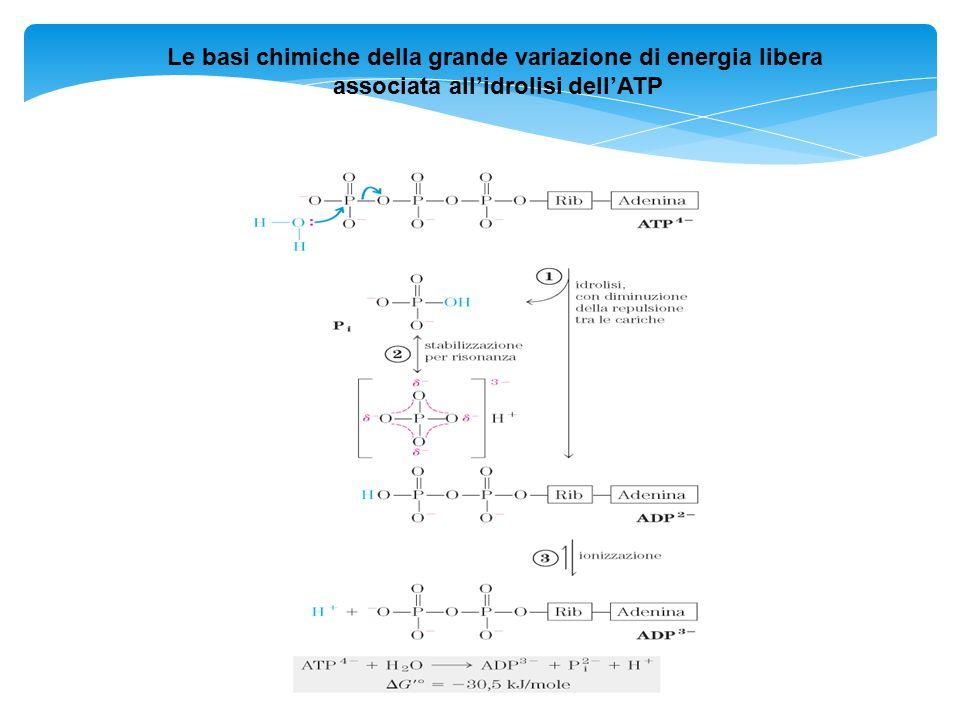 Le basi chimiche della grande variazione di energia libera
