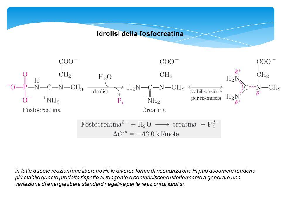 Idrolisi della fosfocreatina