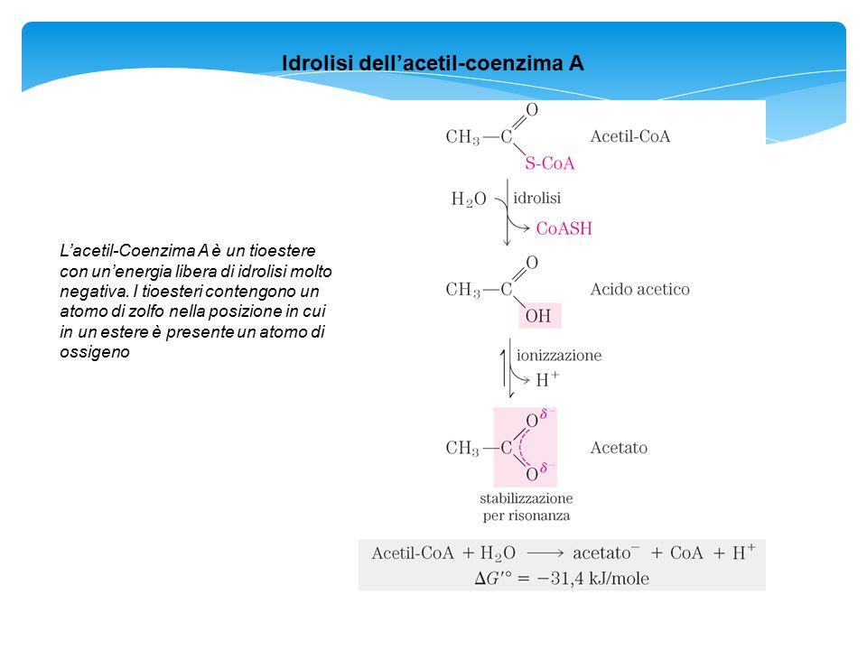 Idrolisi dell'acetil-coenzima A