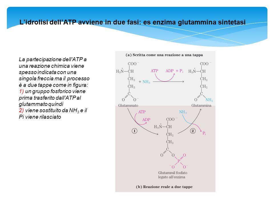 L'idrolisi dell'ATP avviene in due fasi: es enzima glutammina sintetasi