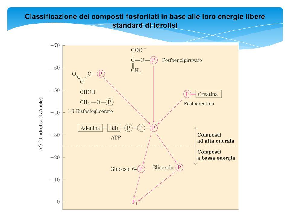 Classificazione dei composti fosforilati in base alle loro energie libere