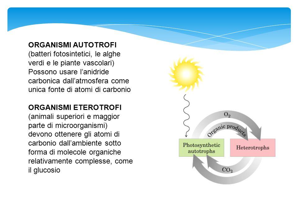 ORGANISMI AUTOTROFI (batteri fotosintetici, le alghe verdi e le piante vascolari)