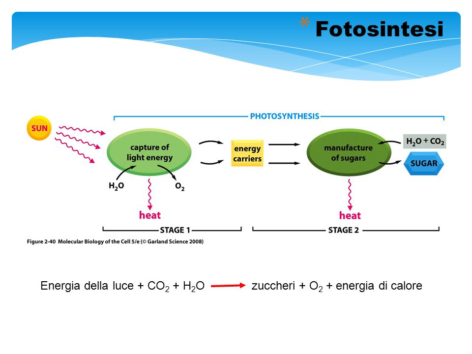 Fotosintesi Energia della luce + CO2 + H2O zuccheri + O2 + energia di calore