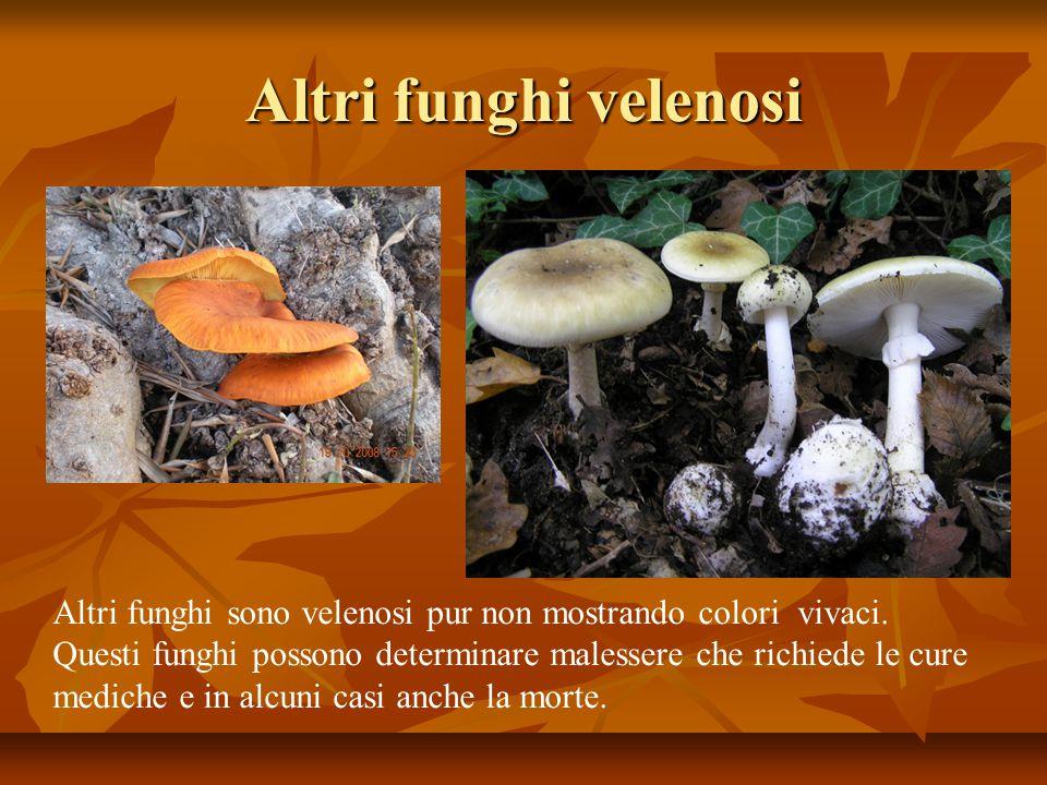 Altri funghi velenosi Altri funghi sono velenosi pur non mostrando colori vivaci. Questi funghi possono determinare malessere che richiede le cure.