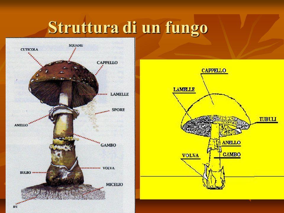 Struttura di un fungo