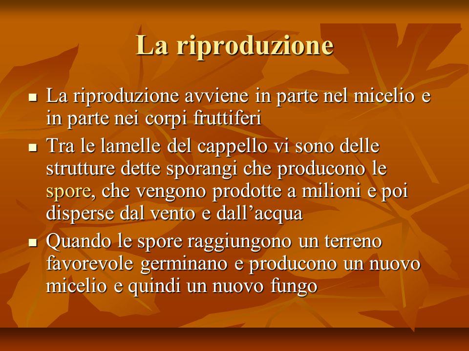 La riproduzione La riproduzione avviene in parte nel micelio e in parte nei corpi fruttiferi.