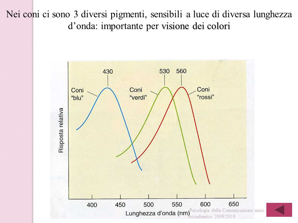 Nei coni ci sono 3 diversi pigmenti, sensibili a luce di diversa lunghezza d'onda: importante per visione dei colori