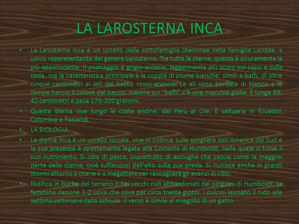LA LAROSTERNA INCA