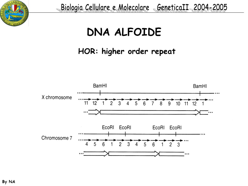 DNA ALFOIDE HOR: higher order repeat By NA