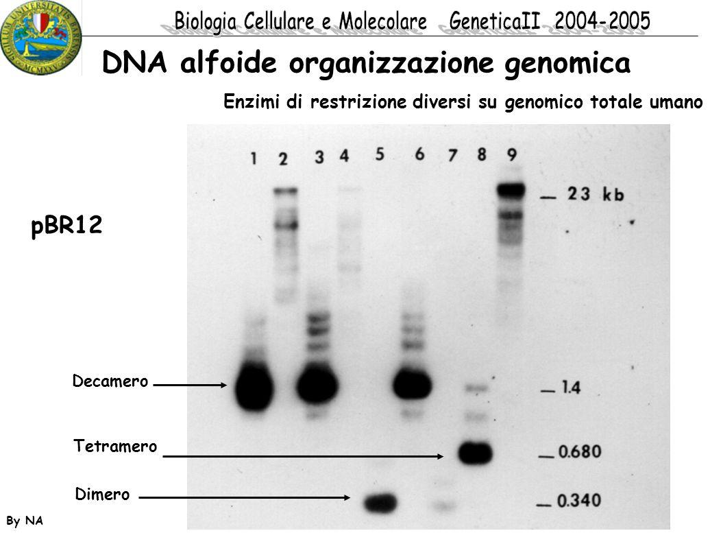 DNA alfoide organizzazione genomica