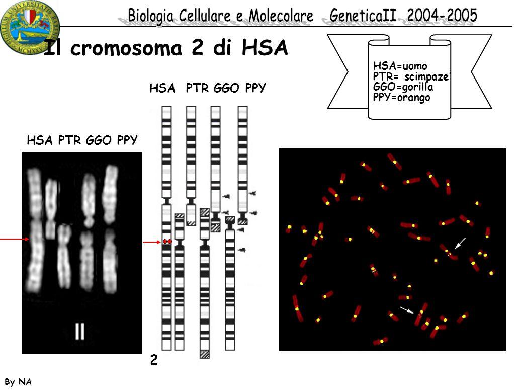 Il cromosoma 2 di HSA 2 HSA PTR GGO PPY HSA PTR GGO PPY HSA=uomo