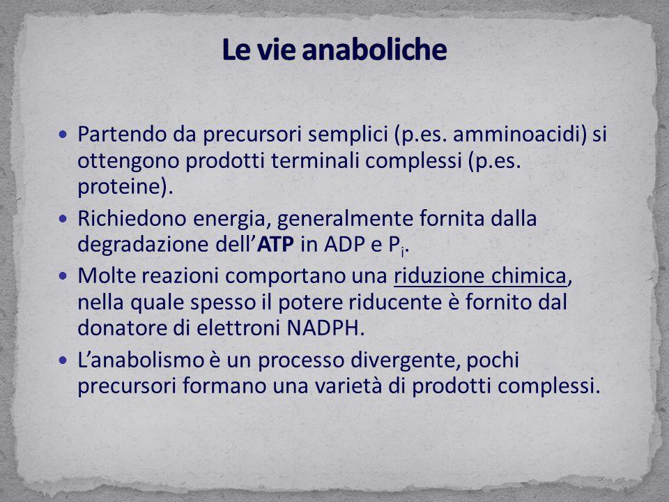 Le vie anaboliche Partendo da precursori semplici (p.es. amminoacidi) si ottengono prodotti terminali complessi (p.es. proteine).