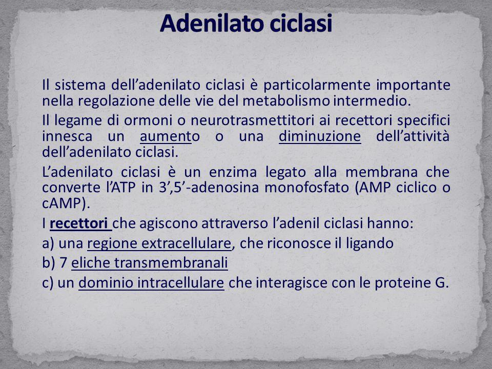 Adenilato ciclasi