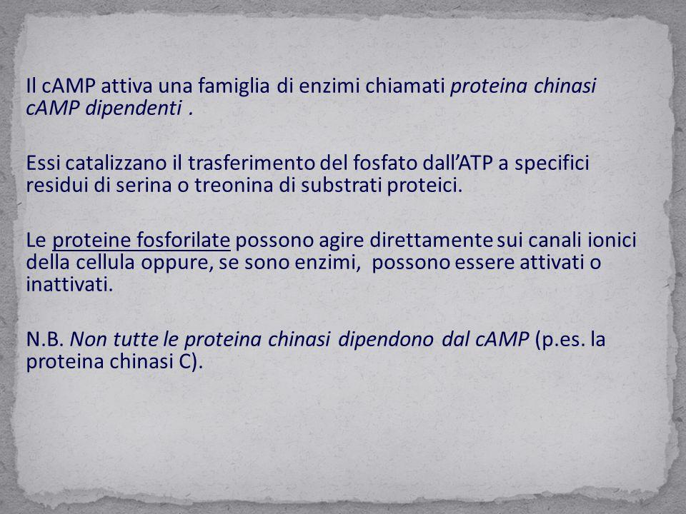 Il cAMP attiva una famiglia di enzimi chiamati proteina chinasi cAMP dipendenti .