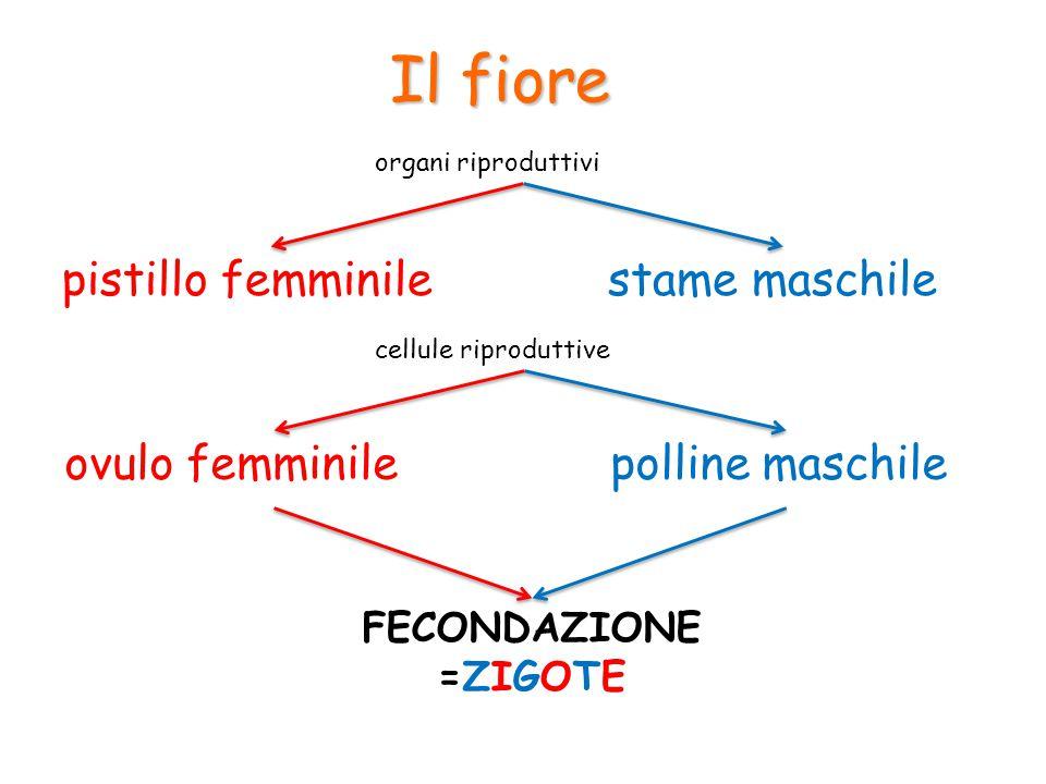 Il fiore pistillo femminile stame maschile ovulo femminile