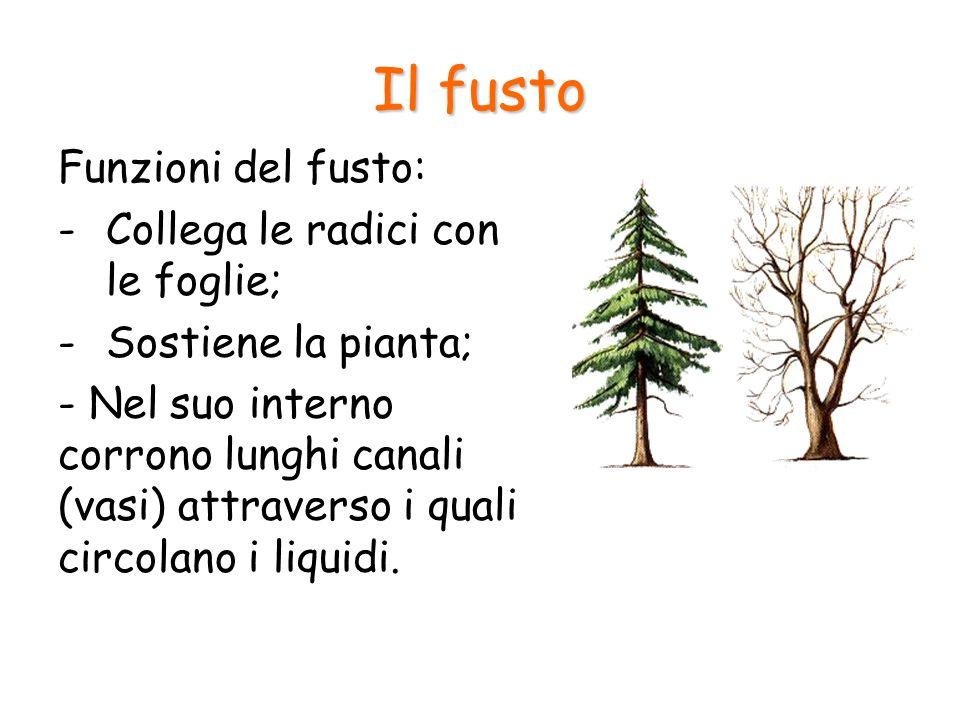 Il fusto Funzioni del fusto: Collega le radici con le foglie;