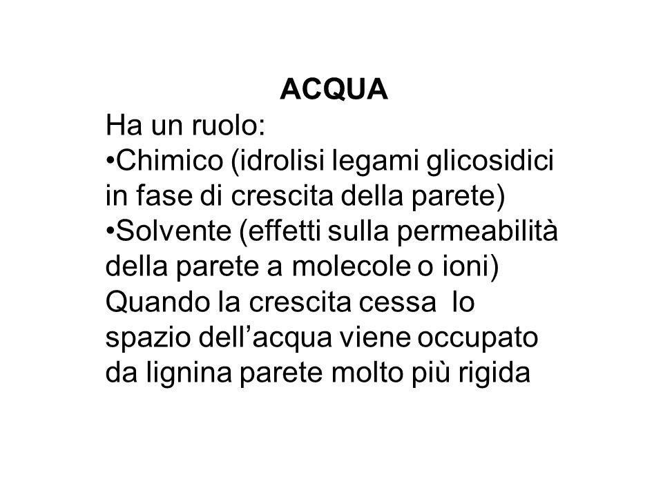 ACQUA Ha un ruolo: Chimico (idrolisi legami glicosidici in fase di crescita della parete)