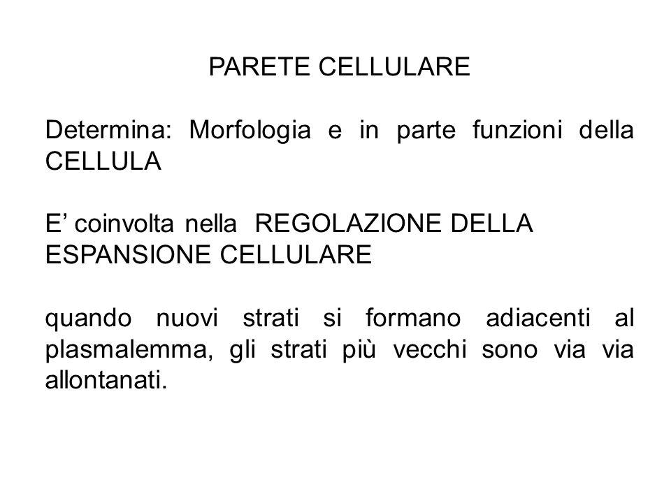 PARETE CELLULARE Determina: Morfologia e in parte funzioni della CELLULA. E' coinvolta nella REGOLAZIONE DELLA ESPANSIONE CELLULARE.