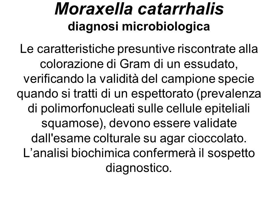 Moraxella catarrhalis diagnosi microbiologica