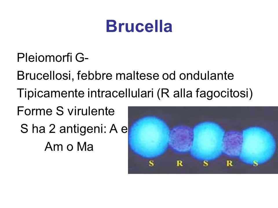 Brucella Pleiomorfi G- Brucellosi, febbre maltese od ondulante