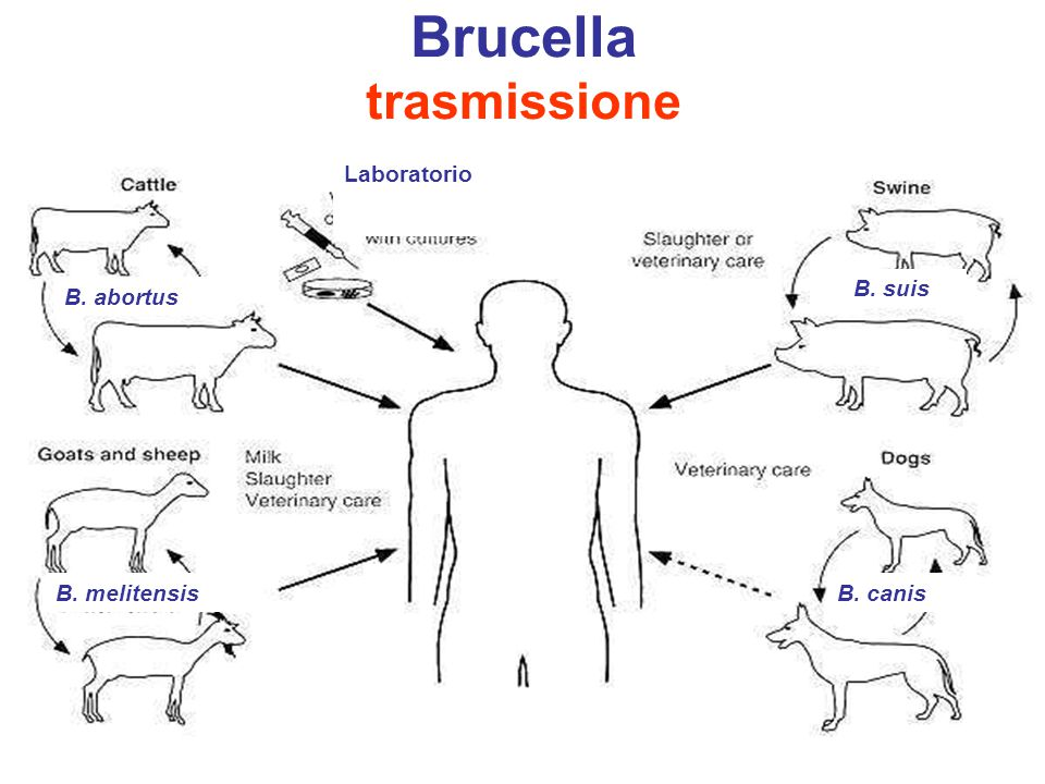 Brucella trasmissione