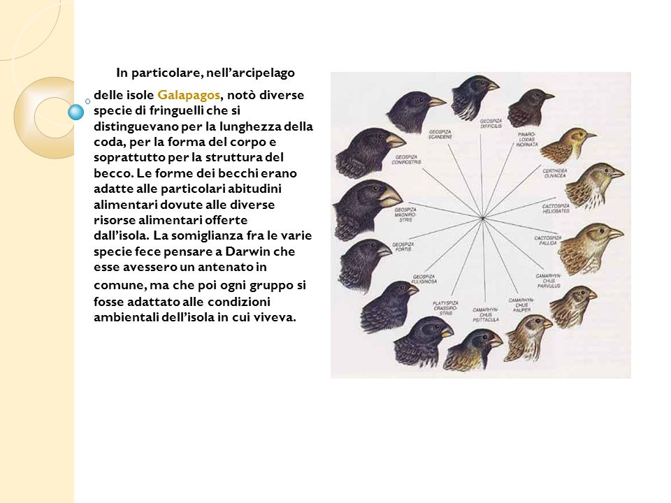 In particolare, nell'arcipelago delle isole Galapagos, notò diverse specie di fringuelli che si distinguevano per la lunghezza della coda, per la forma del corpo e soprattutto per la struttura del becco.