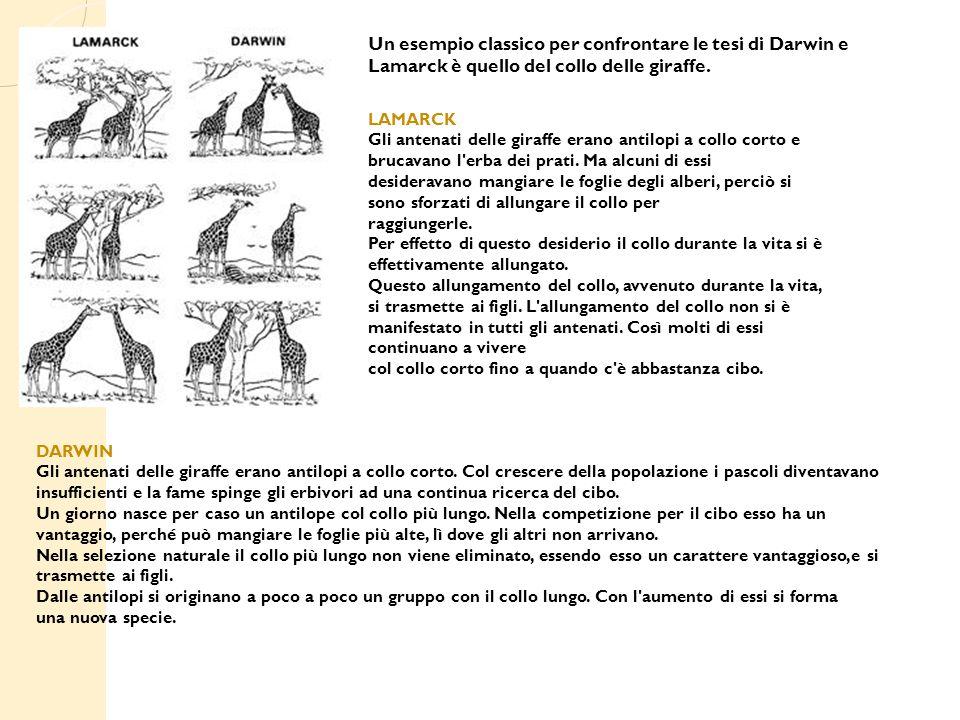 Un esempio classico per confrontare le tesi di Darwin e Lamarck è quello del collo delle giraffe.