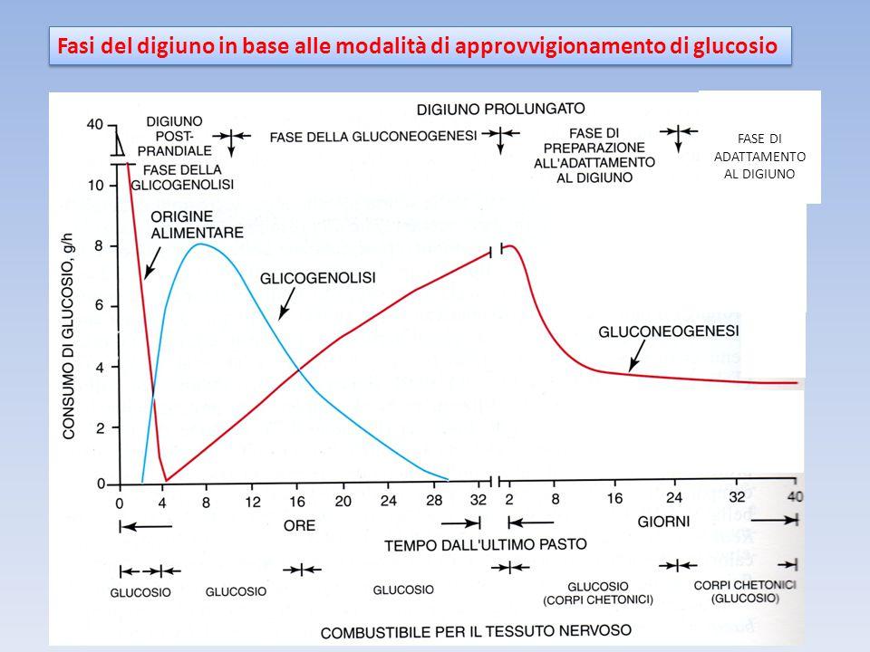 Fasi del digiuno in base alle modalità di approvvigionamento di glucosio
