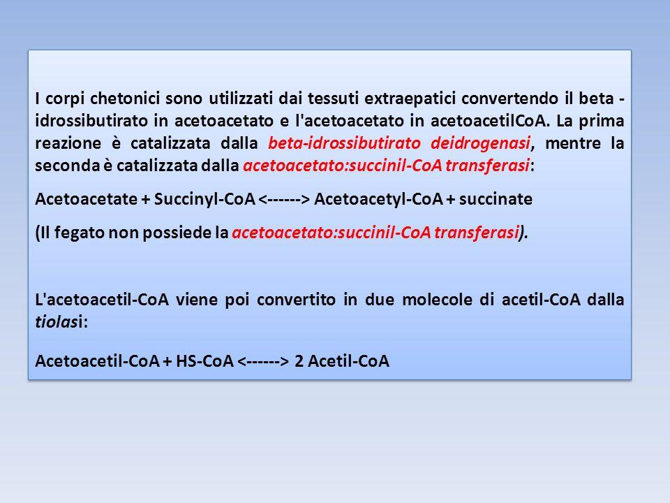 I corpi chetonici sono utilizzati dai tessuti extraepatici convertendo il beta -idrossibutirato in acetoacetato e l acetoacetato in acetoacetilCoA. La prima reazione è catalizzata dalla beta-idrossibutirato deidrogenasi, mentre la seconda è catalizzata dalla acetoacetato:succinil-CoA transferasi: