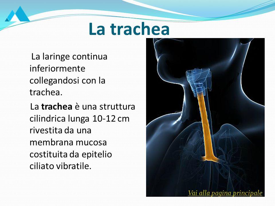 La trachea La laringe continua inferiormente collegandosi con la trachea.