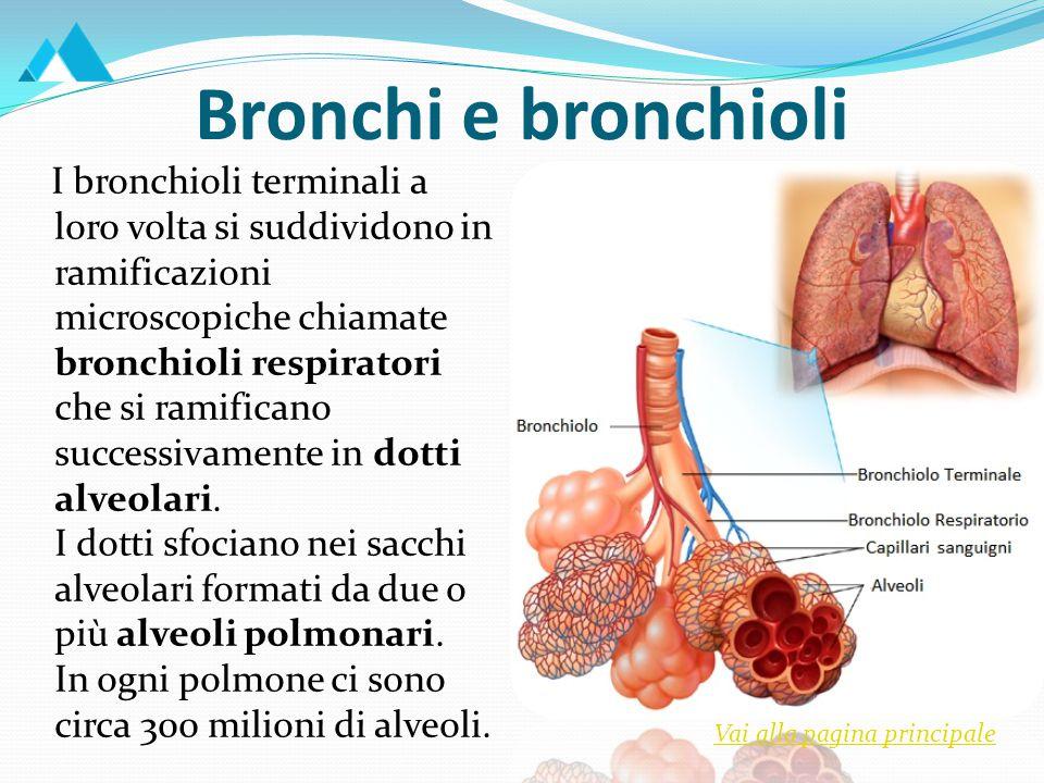 Bronchi e bronchioli