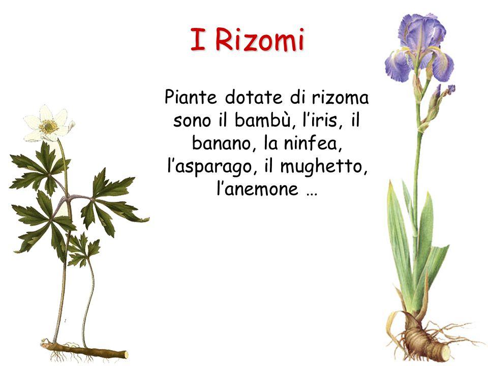 I Rizomi Piante dotate di rizoma sono il bambù, l'iris, il banano, la ninfea, l'asparago, il mughetto, l'anemone …