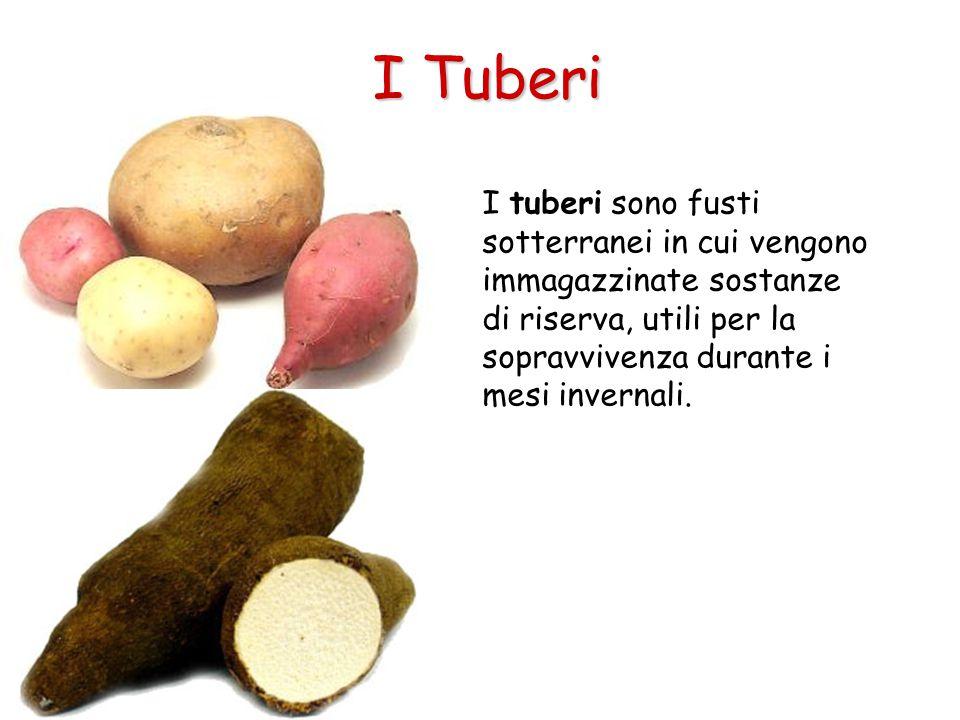 I Tuberi I tuberi sono fusti sotterranei in cui vengono immagazzinate sostanze di riserva, utili per la sopravvivenza durante i mesi invernali.