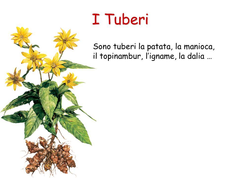I Tuberi Sono tuberi la patata, la manioca, il topinambur, l'igname, la dalia …